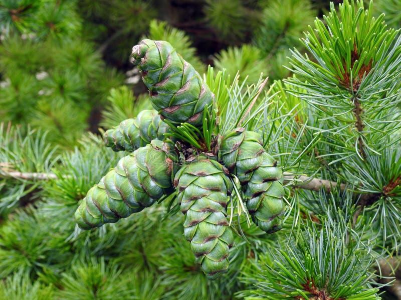 szyszki sosny zielone fotografia royalty free