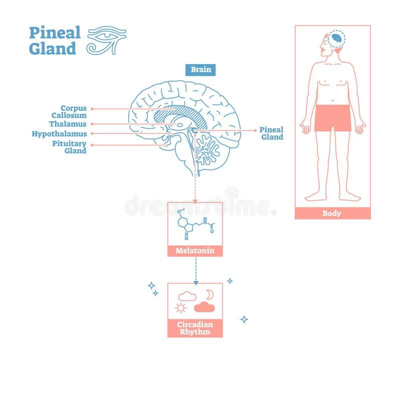 Szyszkowaty gruczoł Dokrewny system Nauki medyczne wektorowy ilustracyjny diagram royalty ilustracja
