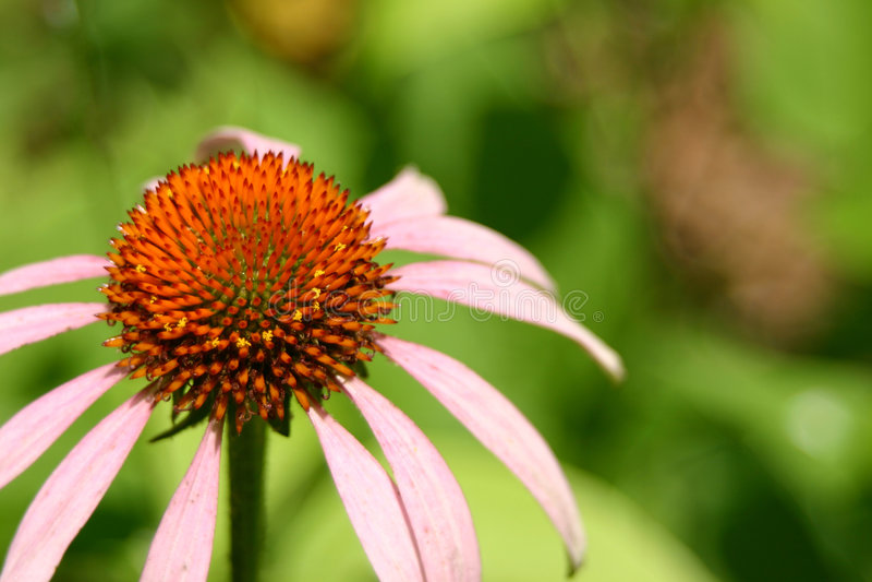 Download Szyszkowy echinacea kwiat obraz stock. Obraz złożonej z macro - 144501