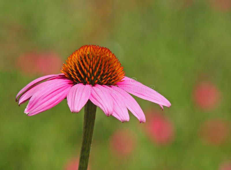 szyszkowy kwiat zdjęcie royalty free