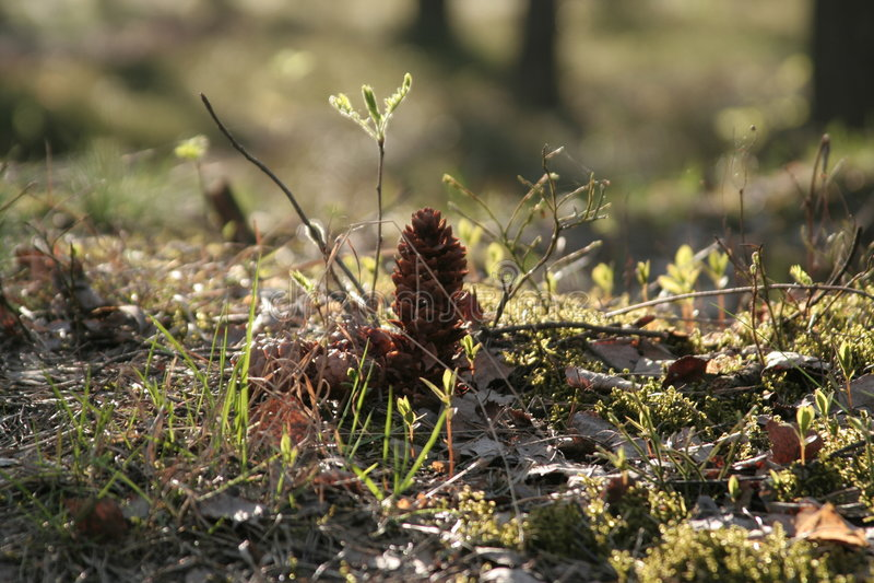 szyszkowy las obrazy stock