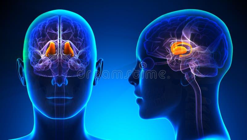 Tálamo femenino Brain Anatomy - concepto azul ilustración del vector