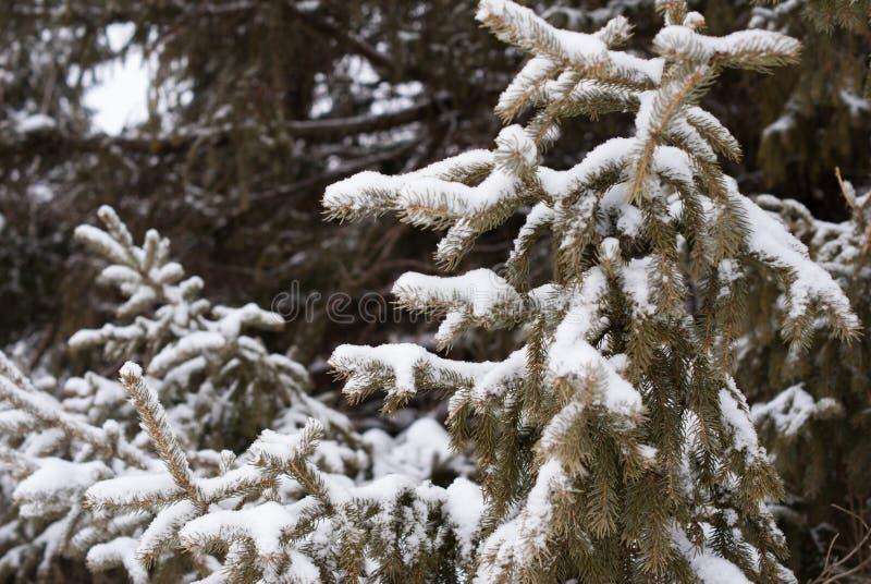 Täckt snö sörjer trädfilialen med mörker sörjer träd i bakgrund arkivbild