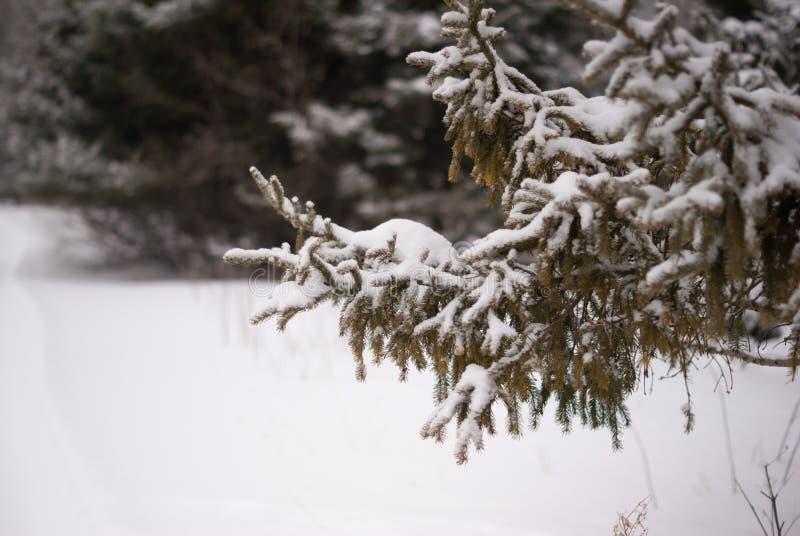 Täckt snö sörjer trädfilialen ovanför snö med gjort suddig sörjer träd i bakgrund royaltyfri bild