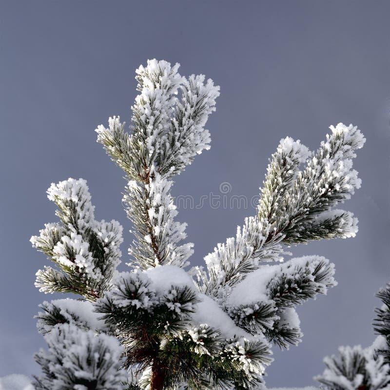 Täckt Snow sörjer förgrena sig arkivbild