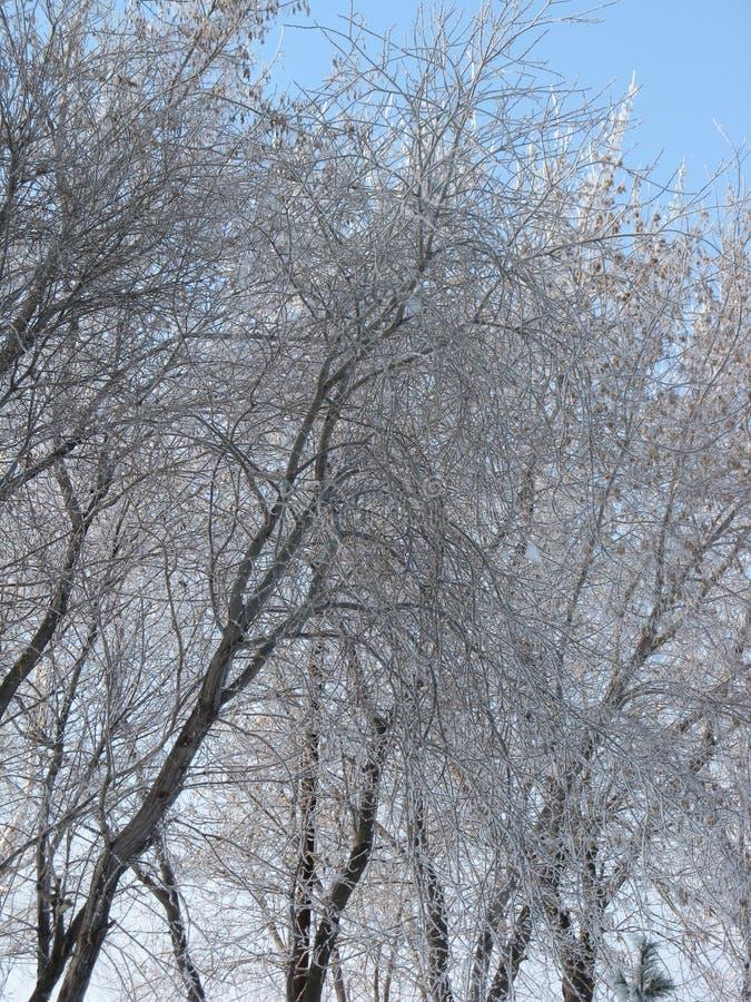 Täckte vinterträdfilialer snöar mot blå himmel fotografering för bildbyråer