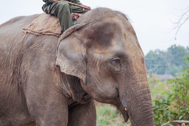 Tämjd elefant i Nepal royaltyfria bilder