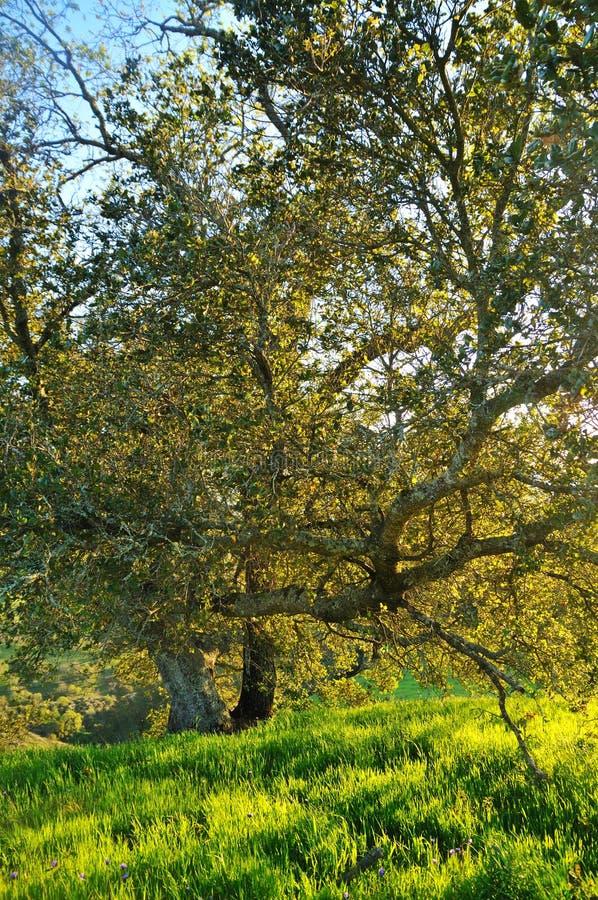 tänd oaksolnedgångtree arkivbilder