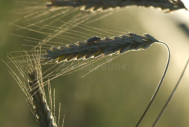 Tända öron för en råg för varm sommaraftonsol som mogna växer i fältet royaltyfria foton