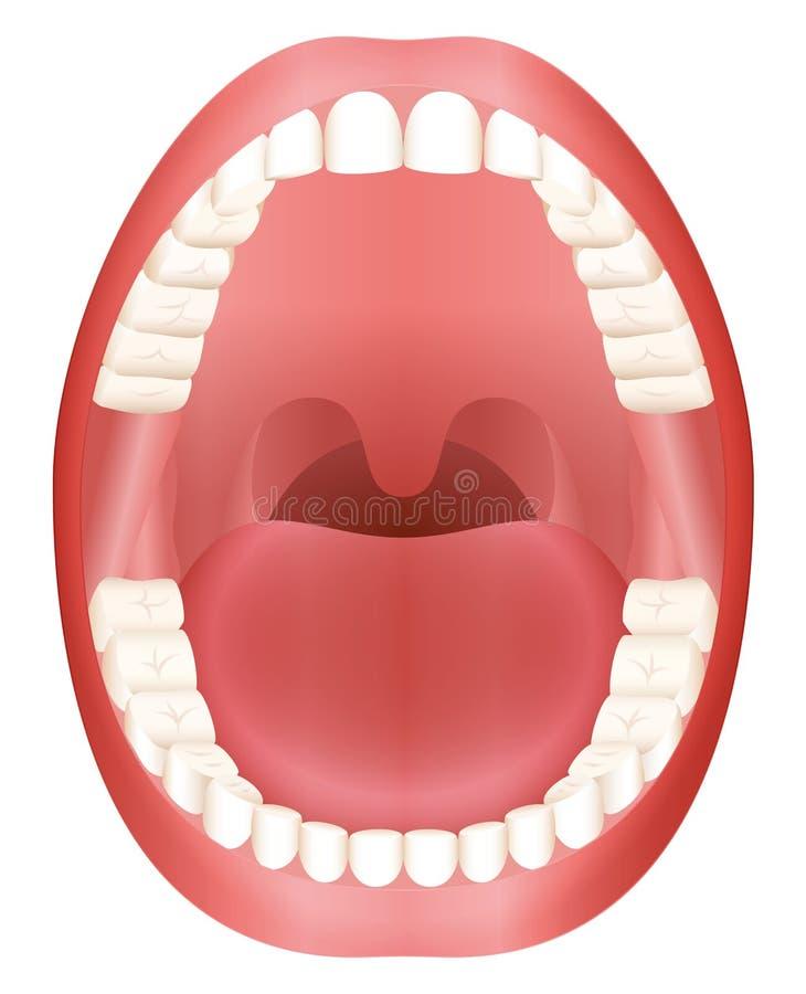 Tänder öppnar munvuxen människaDentition royaltyfri illustrationer