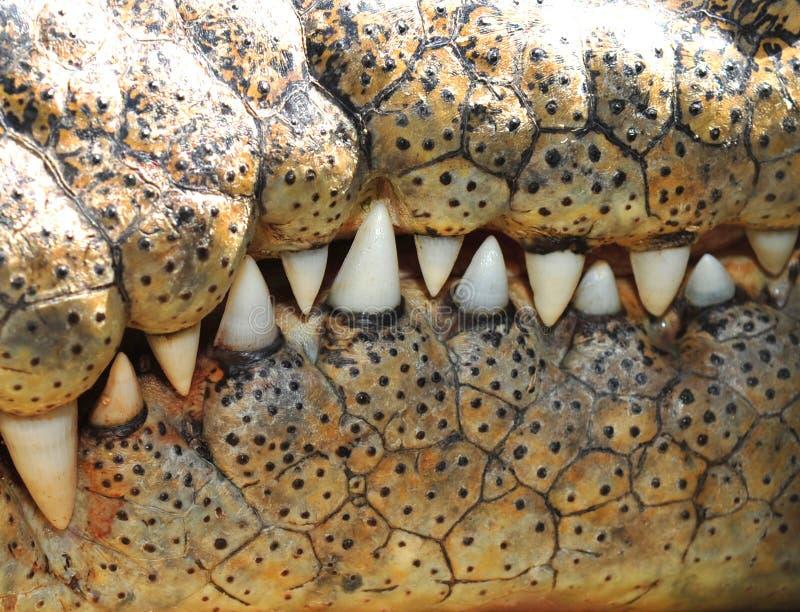 tänder för Australien krokodilqueensland saltwater arkivfoto