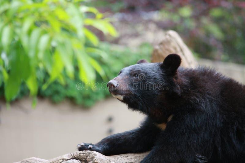 tänka för björn royaltyfri fotografi