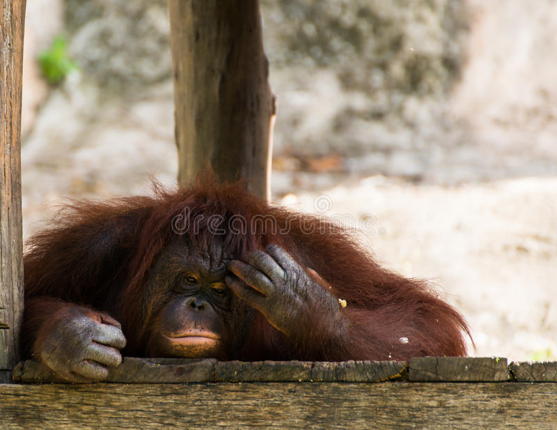 Tänkande orangutang arkivfoto
