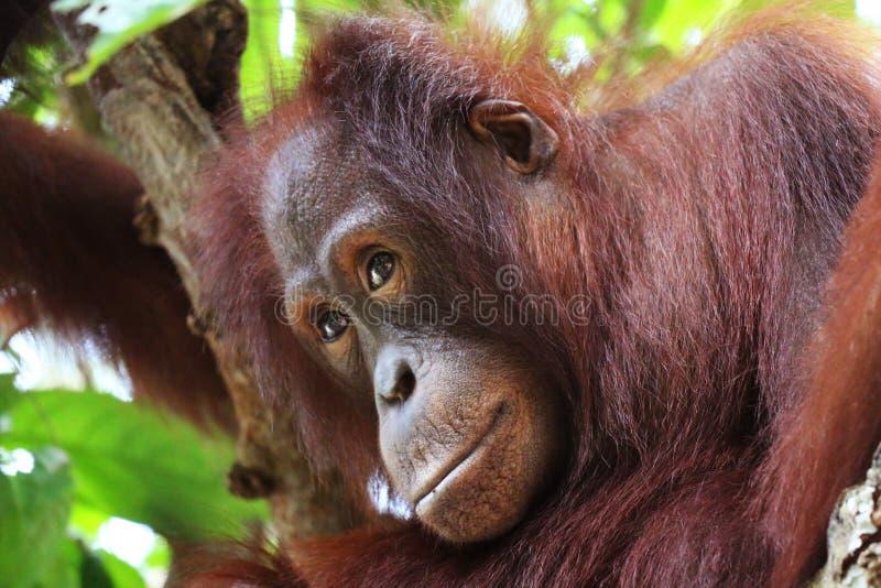 Tänkande orangutang i closeup för Borneo skoghuvud royaltyfria foton