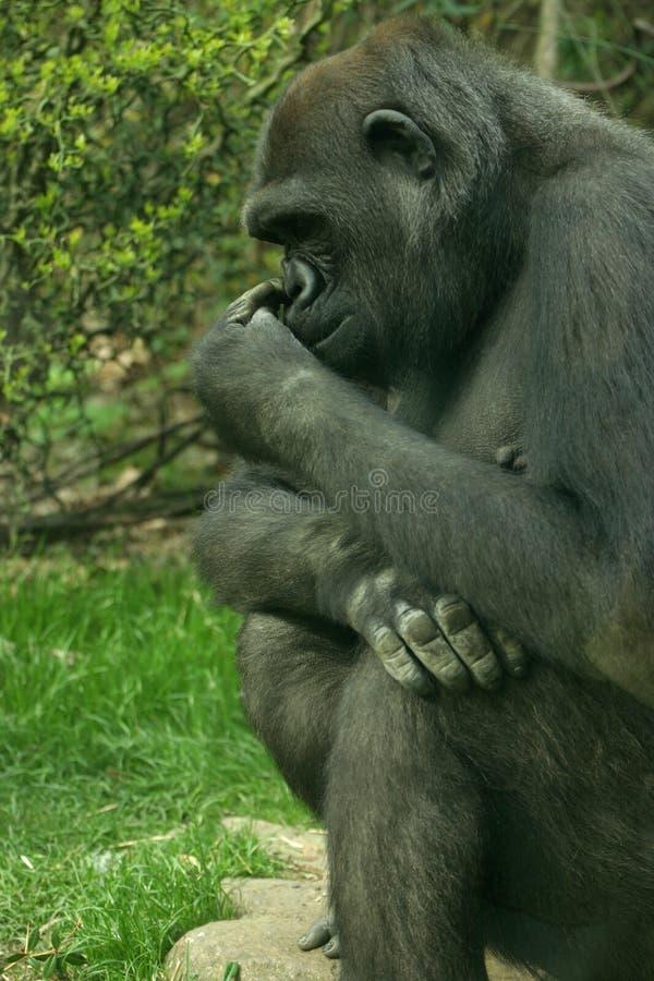 Download Tänkare arkivfoto. Bild av gorilla, enormt, skog, detaljer - 225376