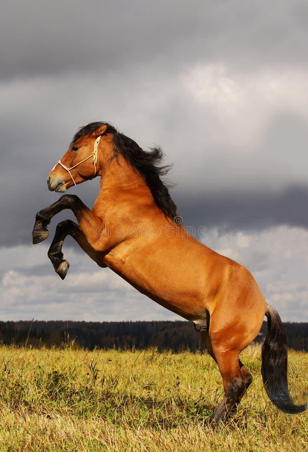 Tänzelnder Stallion stockfotos