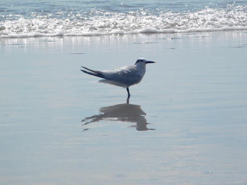 Tärnaanseende på stranden, Florida, USA royaltyfri bild