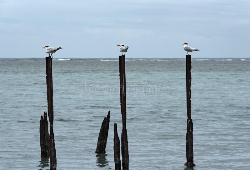 Tärnaseagull för kunglig person tre på tre pelare i det karibiska havet i det Guanacaste landskapet, Costa Rica royaltyfria foton