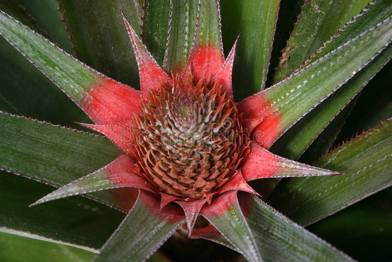 tät ananas upp arkivfoton