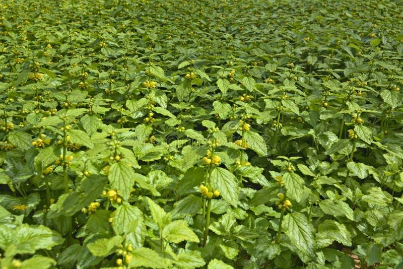Tät befolkning av Lamiumgaleobdolon som är bekant som gul ärkeängel fotografering för bildbyråer