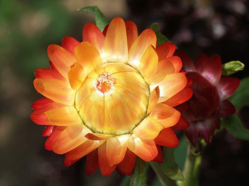 Download Tät blomma upp fotografering för bildbyråer. Bild av yellow - 49695