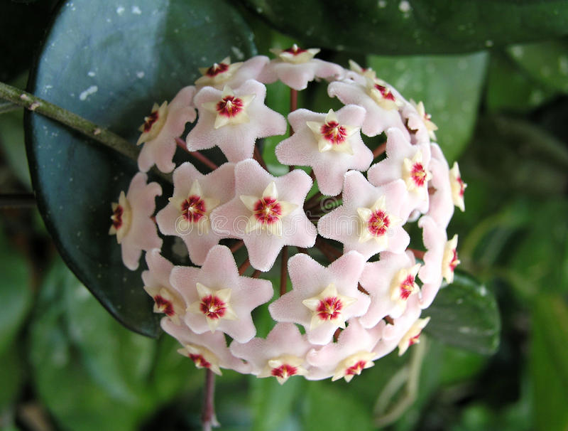 tät blommahoya växt upp arkivbild