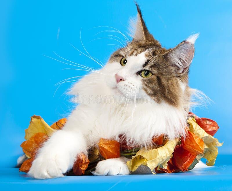 tät coon maine för katt upp fotografering för bildbyråer