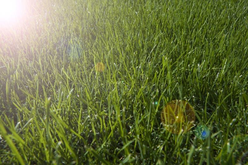 Download Tät Dagg Tappar Upp Nytt Gräs Fotografering för Bildbyråer - Bild av gräs, regn: 78731275