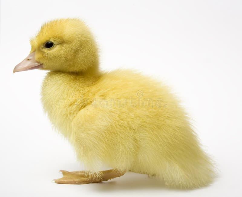 tät duckling upp arkivfoton