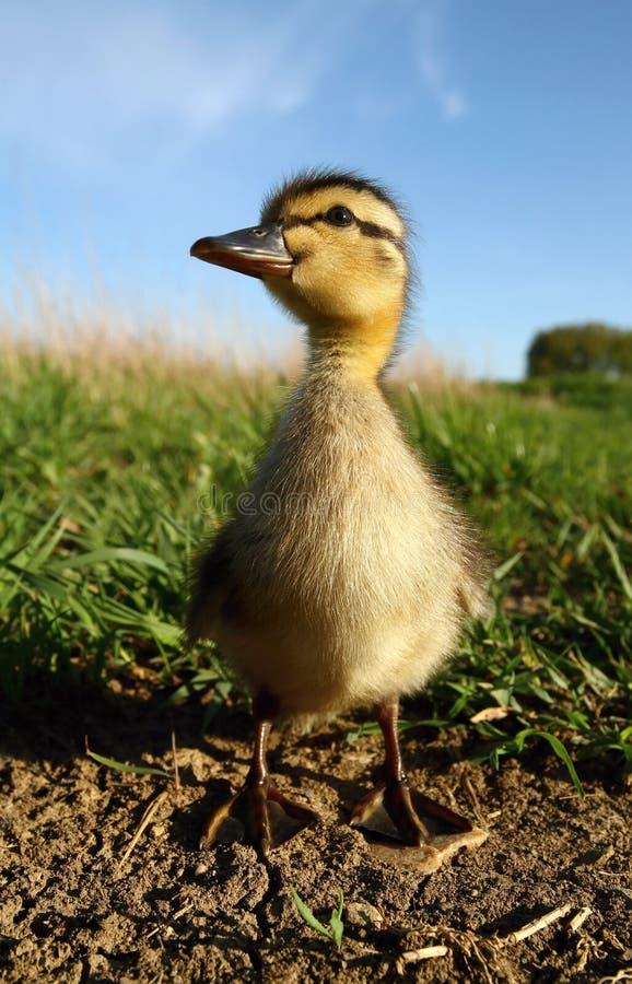 tät duckling upp fotografering för bildbyråer