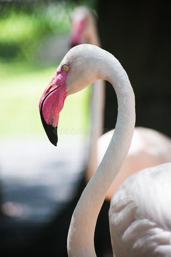 tät flamingo upp royaltyfri bild