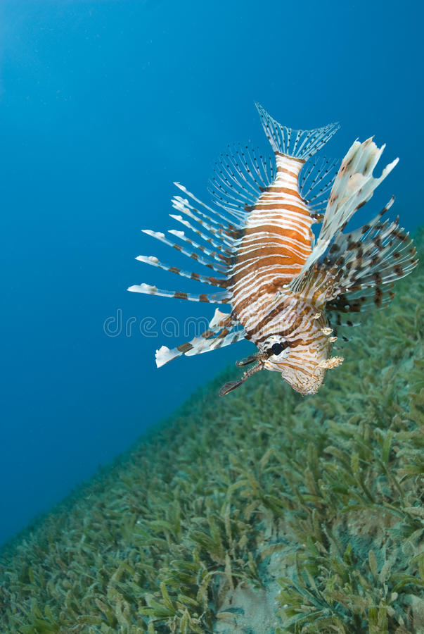 tät gemensam sväva lionfishseabed till fotografering för bildbyråer