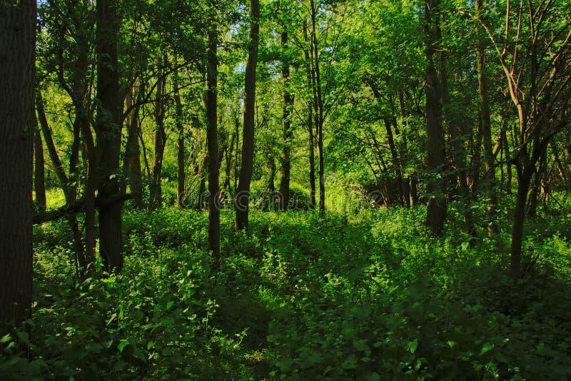 Tät grön vårskog i den flemish bygden royaltyfria foton