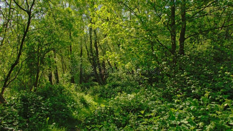 Tät grön vegetation i en skog i den flemish bygden fotografering för bildbyråer