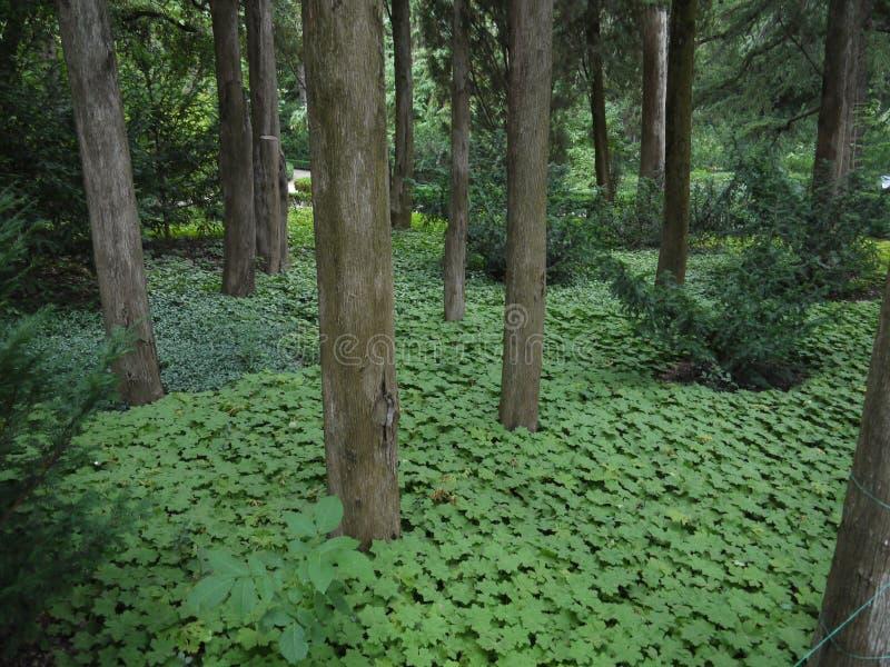 Tät grönska runt om de kala stammarna av barrträd fotografering för bildbyråer