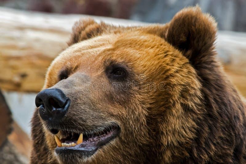 tät grizzly för björn upp arkivbilder