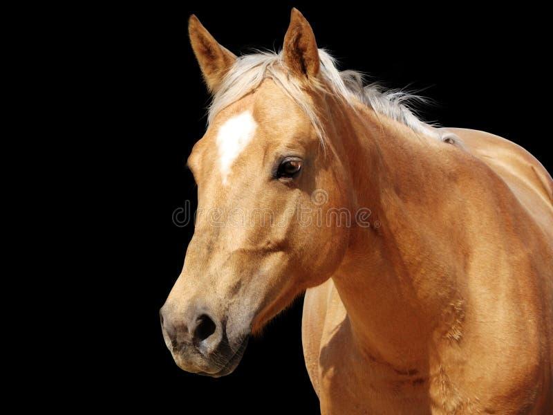 tät guld- hästpalomino upp royaltyfri fotografi