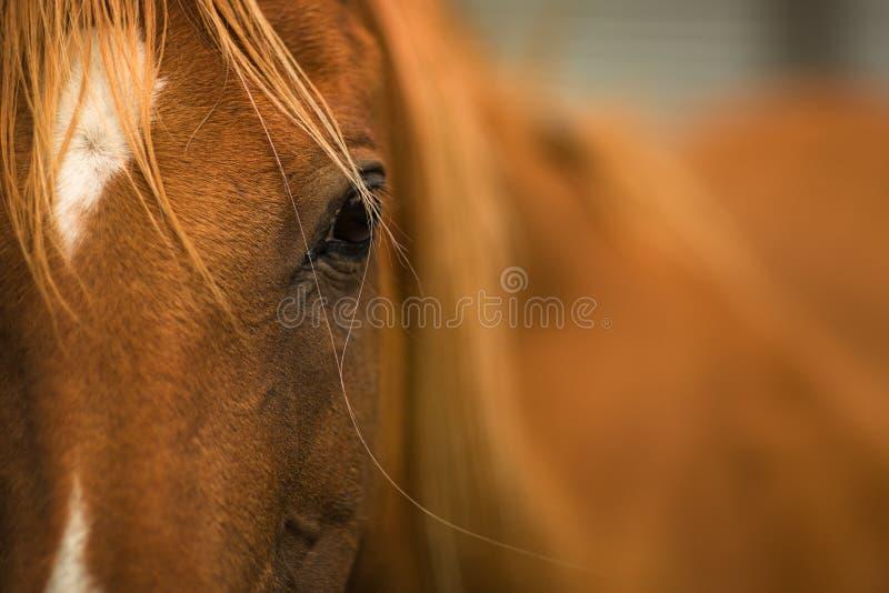 tät häst upp royaltyfria bilder