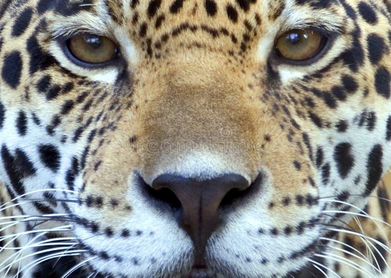 tät jaguar upp royaltyfri foto