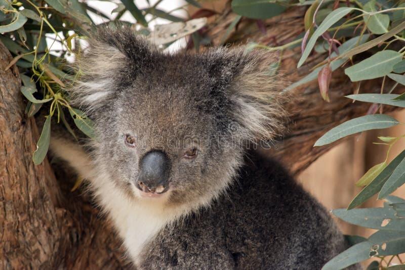 tät koala upp arkivfoto