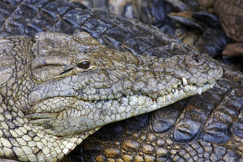 tät krokodil nile upp royaltyfri bild