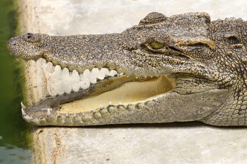 tät krokodil upp royaltyfri foto