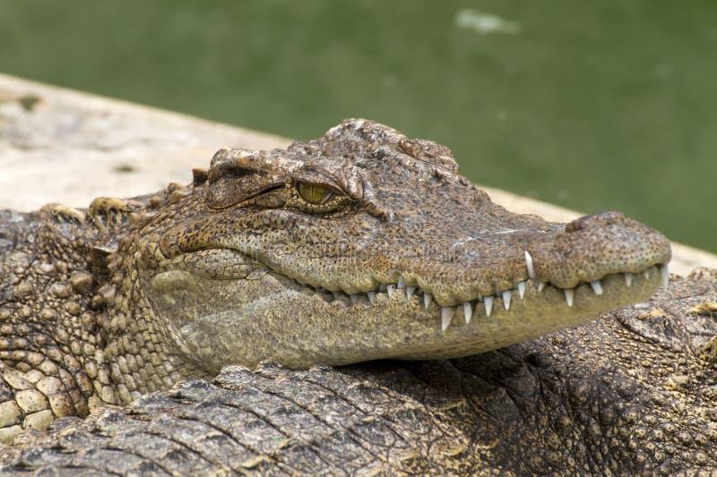 tät krokodil upp arkivbilder