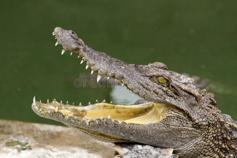 tät krokodil upp royaltyfria foton