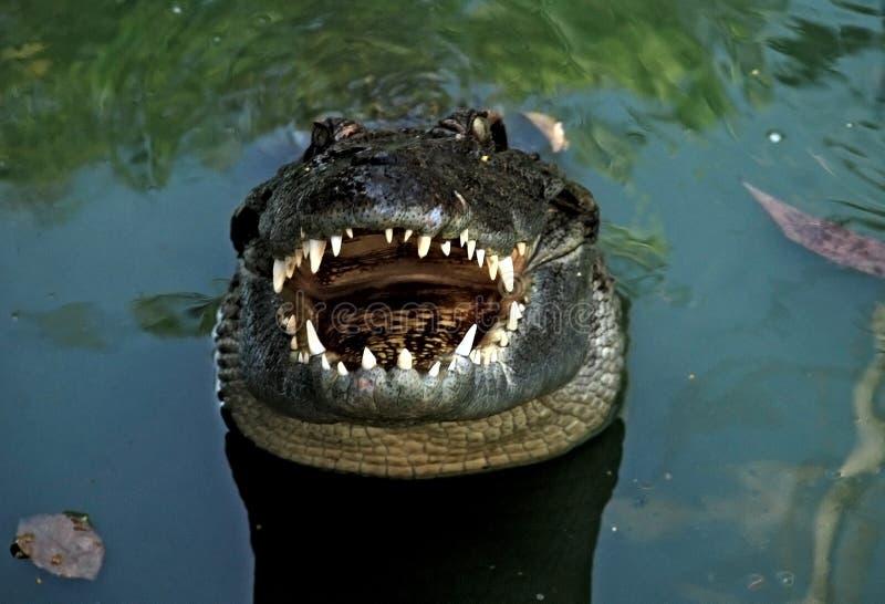 tät krokodil upp royaltyfria bilder
