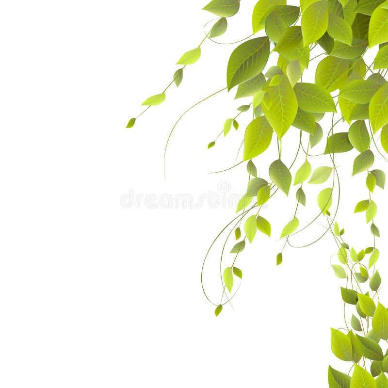Tät lövverk på en vit bakgrund som klättrar växter, arkivfoto