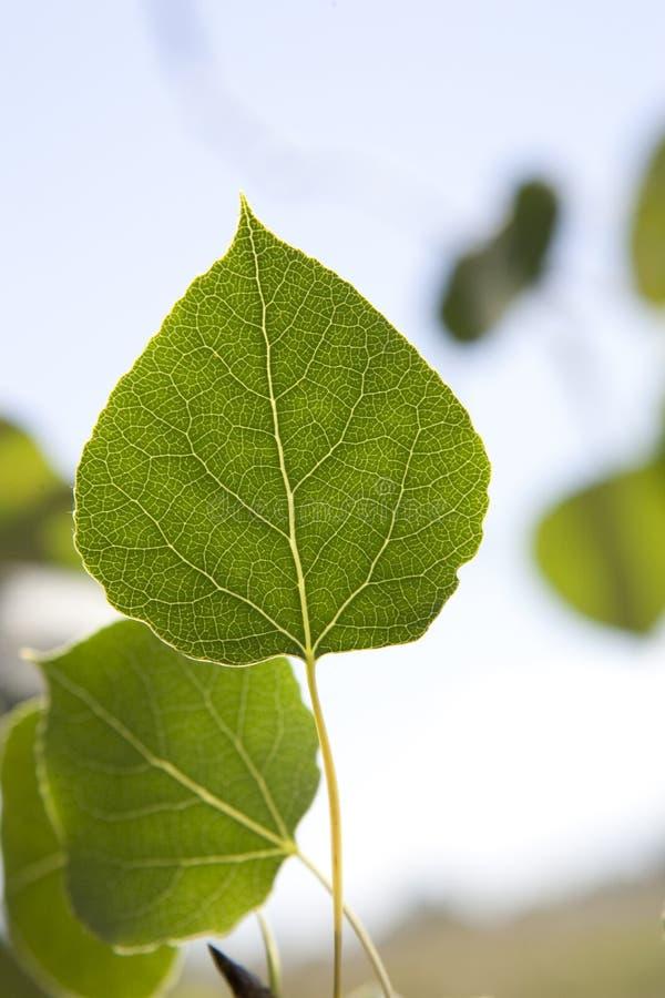 tät leaf för asp upp royaltyfria foton