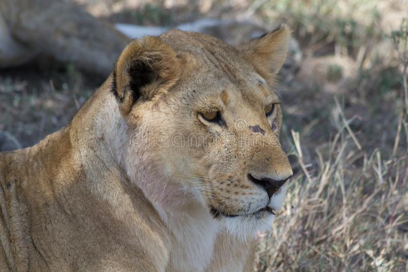 tät lioness upp royaltyfri fotografi