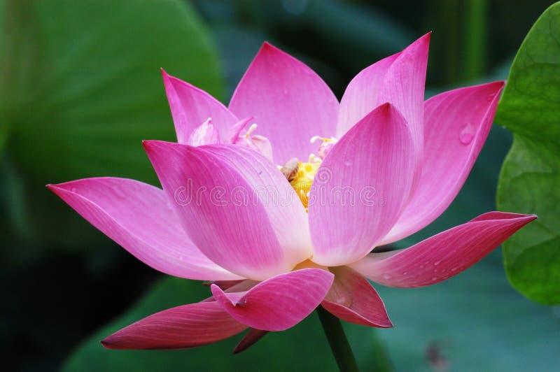 tät lotusblomma upp arkivfoto