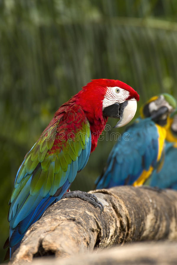 tät macaw upp arkivfoton